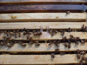 Apistan Strip in Goldie Hive