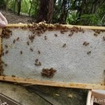 Honey 1 Inspection and Mokoroa 1 gets new Queen!!
