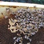 Bees Mokoroa 1