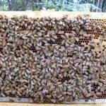 Mokoroa Frame of Bees