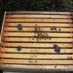 Api Life Var and the Mokoroa Hive