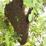Bee swarms – How to deal with them