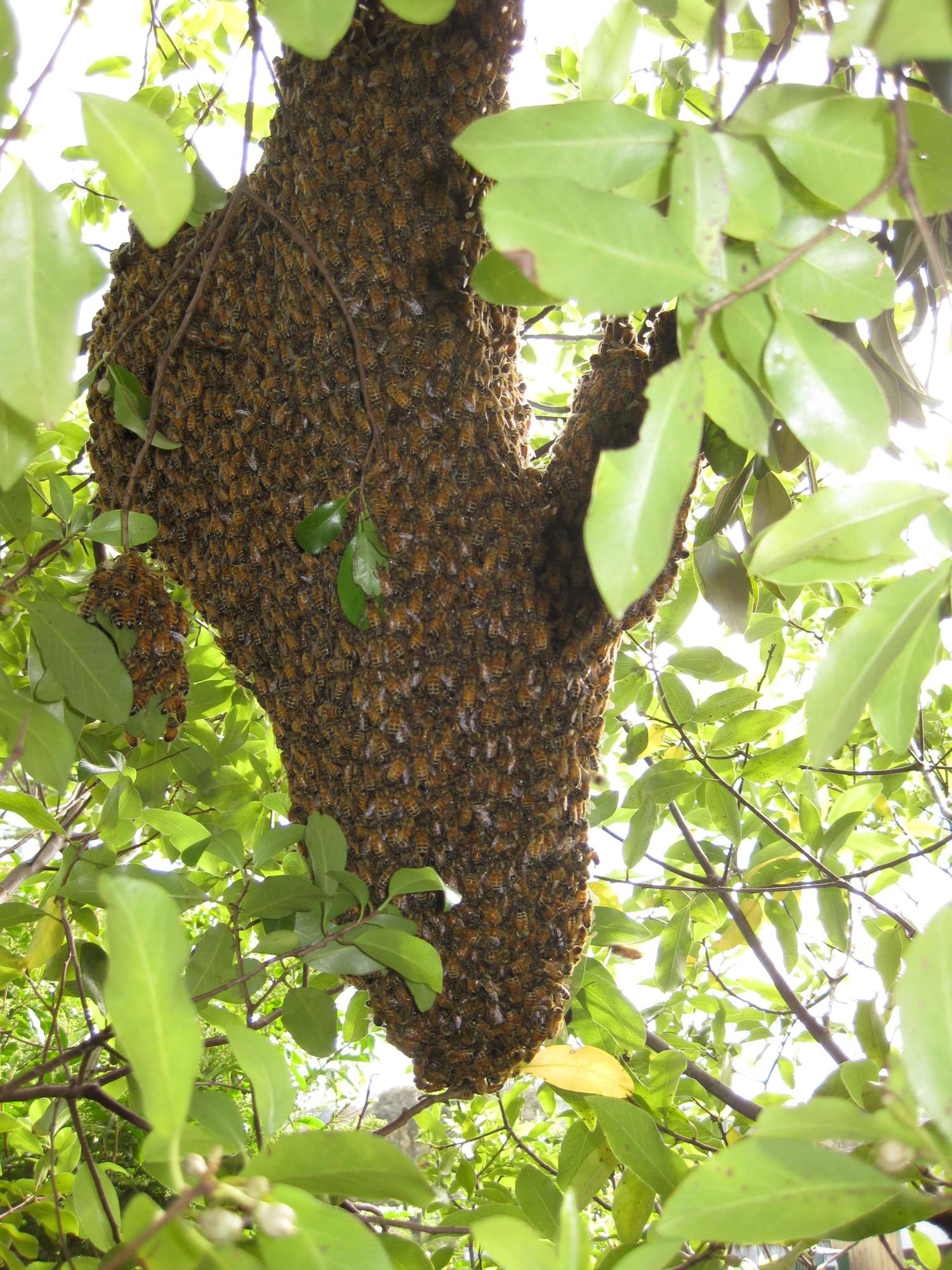 bee swarms in auckland