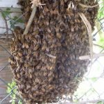 "Picking up the Hawthorn swarm – Part 3 ""Third time is the Charm"""