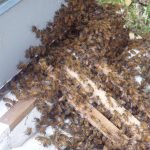 Swarm of Bees walking into Hive
