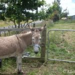 "Peters Donkey ""Amelia"""