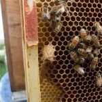 Never hold a frame full of bees away from the hive
