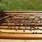 Inspecting two hives – Swanson and Glen Eden 2