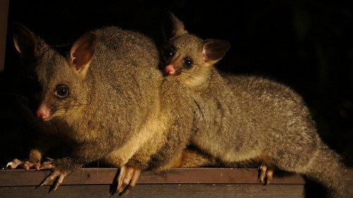 Possums strike a pose