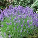 Australia Fair – Bee Friendly Australian plants