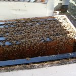 A nice cluster of bees