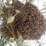 First Swarm of the season