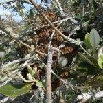 Bees in feijoa tree