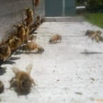 Bees Coming in to Land