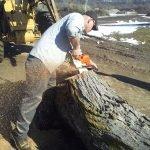 Log is cut up