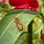 German Wasps – How to Keep them out of your bee hives