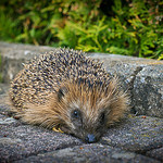 Image Credit: Hedgehog by Daniel Wehner