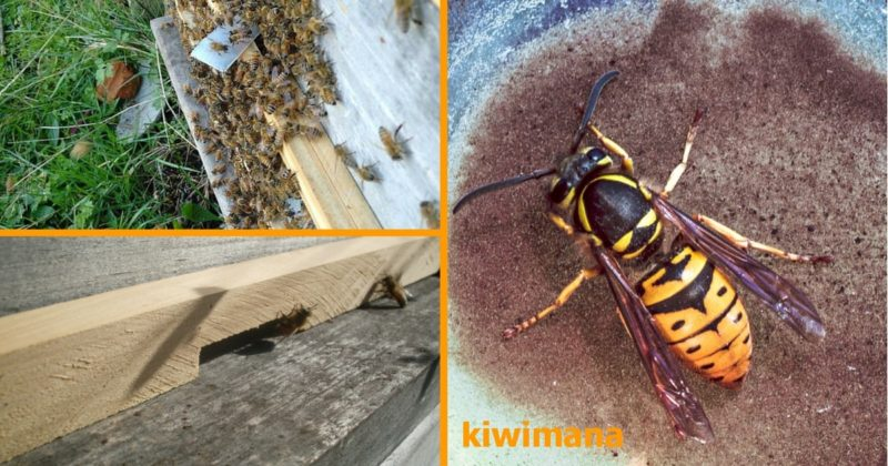 german_wasps_how_to_keep_them_out_of_your_bee_hives_fb