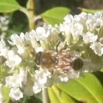 Bee on Buddliea