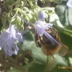 Herbs are great for attracting bees