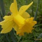 Chewed Daffodil