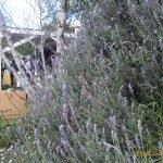 Lavendar at Bee Club