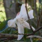 Miniature Magnolia