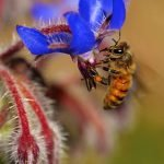 Borage – Why Is It So Good For Bees?