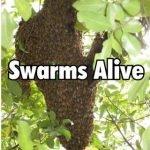 Swarms Alive – KM035