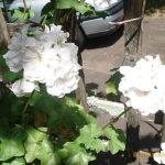geranium climber