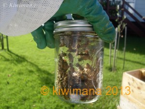 Fill Jar with 300 Bees