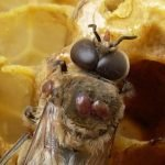 infested ! … with Varroa !!