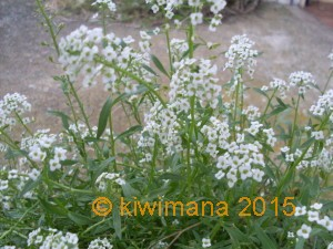 Wow white Alyssum, smells lovely and growing prolifically in-between cracks on our concrete path