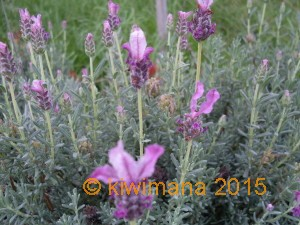This is a group of various lavenders, quite a small variety and loving Autumn!