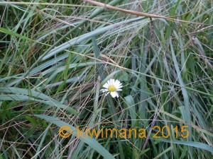 The lone daisy pokes her head up from amongst the long-grass