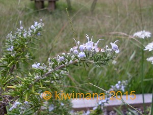 Blue Rosemary, doing well and also will need a prune