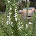 This lovely Rosemary (herb) is growing well, she will need a prune after flowering