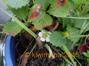 This strawberry has survived new shoots mean more plants
