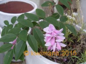 Miniature Pink Wisteria