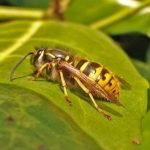 Getting Rid of Wasps in Your Garden: The Natural Way