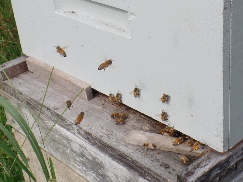 Reducing the hive entrance still enables Robbing Bees and Wasps to get straight in to the hive