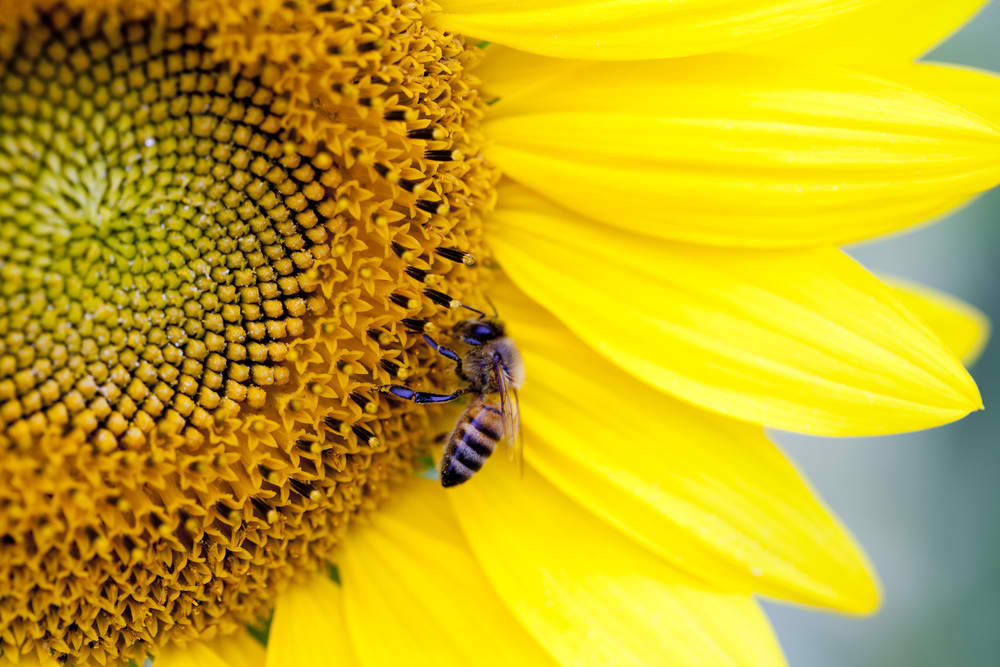 Sunflower is a bee favorite.