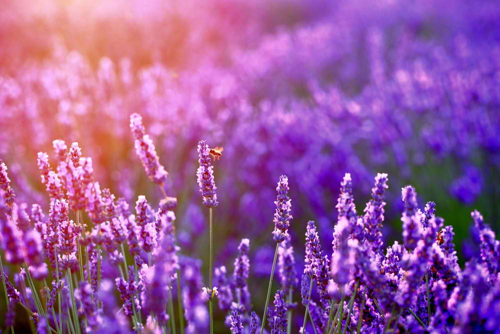 The vibrant color of lavender attracts the bees.