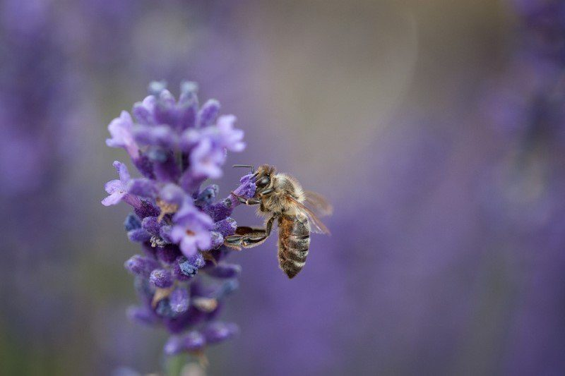 8 spring flowers that attract australian native bees