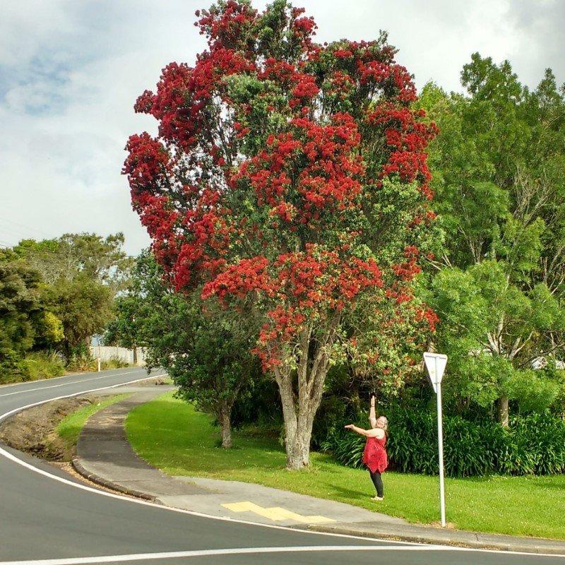 Our native Christmas tree, The pohutakawa